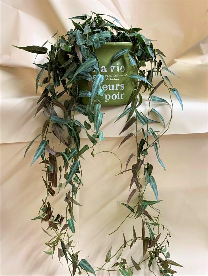 אמאזוניקה בכלי ירקרק