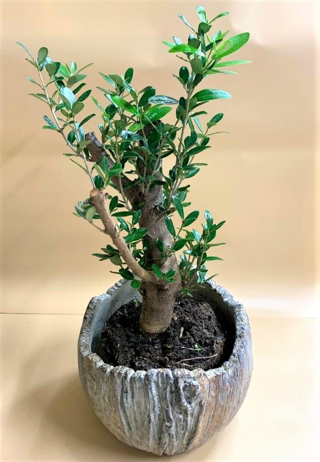 עץ זית בכלי דקורטיבי